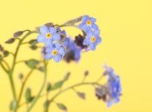 Dziecka błękita niezapominajki kwiaty Zdjęcia Stock