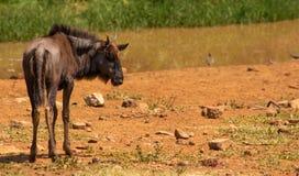 Dziecka błękita wildebeest patrzeje prawy zdjęcia royalty free