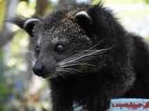 Dziecka Bearcat w gapiowskim nastroju Obrazy Royalty Free