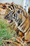 Dziecka Bengal tygrys Zdjęcia Stock
