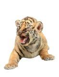 Dziecka Bengal tygrys odizolowywający Zdjęcie Stock