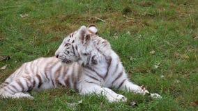Dziecka biały tygrysi lying on the beach w trawie w zoo i patrzeć wokoło zbiory