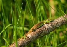 dziecka bilineata lacerta viridis Obrazy Royalty Free