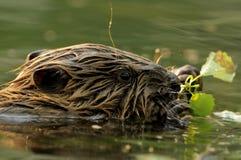 dziecka bobra rycynowy europejski włókno Fotografia Royalty Free