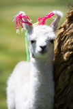 dziecka Bolivia lama Zdjęcia Royalty Free