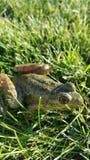 Dziecka bullfrog obrazy stock