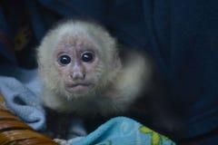 Dziecka Capuchin małpa obrazy royalty free