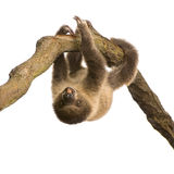 dziecka choloepus didactylus opieszałość stawał dwa Zdjęcie Royalty Free