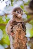 dziecka ciemniusieńka langur liść małpa ciemniusieńka Fotografia Stock