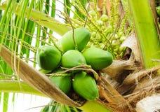 dziecka cocnut zieleni drzewo obrazy royalty free