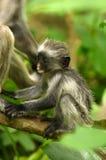 dziecka colobus czerwień Zanzibar fotografia stock