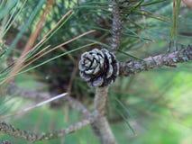 Dziecka Conifer rożek Zdjęcia Royalty Free