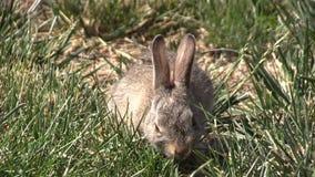 Dziecka Cottontail królika łasowanie zbiory
