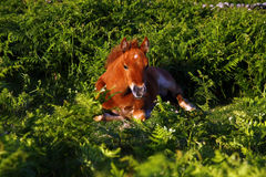 dziecka dartmoor paproci koń Zdjęcie Royalty Free