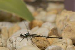 Dziecka dragonfly odpoczywa lub pozuje fotografia stock