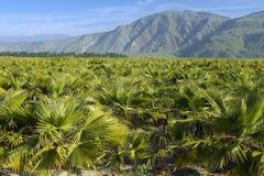 Dziecka drzewka palmowe target101_1_ w drzewka palmowego gospodarstwie rolnym Fotografia Stock