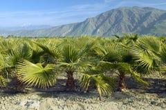 Dziecka drzewka palmowe target118_1_ w drzewka palmowego gospodarstwie rolnym Zdjęcia Stock