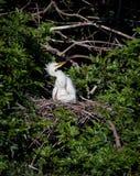 dziecka egret przyglądający mamy gniazdeczka biel Zdjęcie Stock