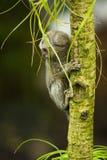 dziecka gałęziasta target1117_0_ pazurczatki małpa Zdjęcia Stock
