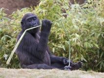 dziecka gałęziasty goryla całowanie Zdjęcia Stock