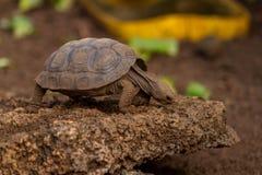 Dziecka Galapagos Tortoise Obraz Stock