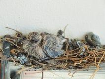 Dziecka gołębi opuszczać w gniazdeczku Fotografia Royalty Free
