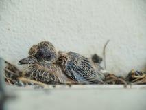 Dziecka gołębi opuszczać w gniazdeczku zdjęcie royalty free