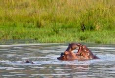 dziecka hipopotamów matki usta Obrazy Royalty Free