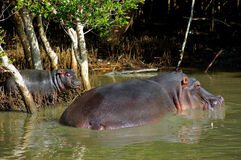 dziecka hipopotama matka Obraz Royalty Free