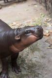 Dziecka hipopotamowy ono uśmiecha się, Hipopotamowy amphibius Obrazy Royalty Free