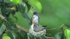 Dziecka hummingbird karmiący rodzicem zdjęcie wideo