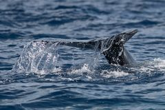 Dziecka humpback wieloryba ogonu fuks obraz royalty free