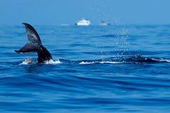 Dziecka humpback wieloryba ogonu policzkować Fotografia Royalty Free
