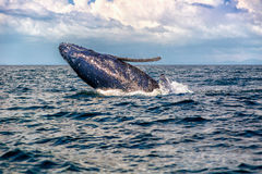 Dziecka Humpback wieloryba strony skok obraz royalty free
