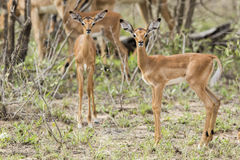 Dziecka Impala Południowa Afryka obrazy stock
