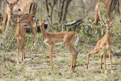 Dziecka Impala w Południowa Afryka Zdjęcie Royalty Free