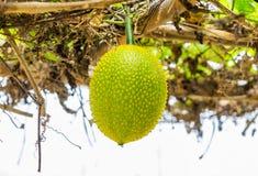 Dziecka Jackfruit Spiny Gorzka gurda, Słodka gurda, Cochinchin gurda, G Zdjęcia Royalty Free