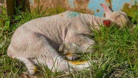 Dziecka jagnięcy lying on the beach w trawie Zdjęcie Stock