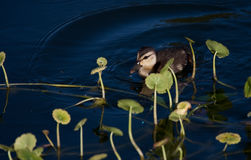 dziecka kaczątka laguny pływania Obrazy Royalty Free