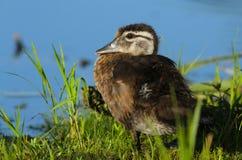 dziecka kaczki drewno Obrazy Stock