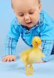 dziecka kaczki miód Fotografia Stock
