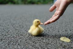 dziecka kaczki pomoc Obraz Royalty Free
