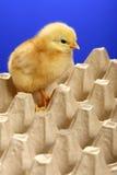 dziecka kartonu kurczaka jajko zdjęcia stock