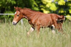 Dziecka koński galopujący samotny lato Zdjęcie Stock