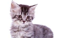 dziecka kota śliczny srebny tabby Fotografia Stock