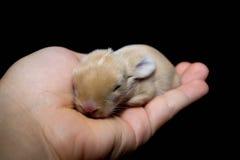 dziecka królika nowonarodzony królika majcher Obrazy Royalty Free