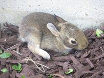 dziecka królika nowonarodzony królika majcher Obrazy Stock