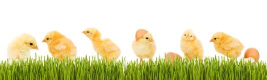 dziecka kurczaka świezi trawy zieleni udziały Fotografia Royalty Free