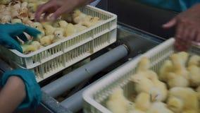 dziecka kurczaka gospodarstwa rolnego kratownica Rolnictwo zbiory