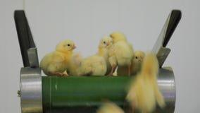 dziecka kurczaka gospodarstwa rolnego kratownica Rolnictwo zdjęcie wideo
